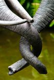 Tangled Trunks. A pair of elephant trunks about to engage in an embrace stock photos