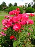 Tanglow Rosa Foto de Stock Royalty Free