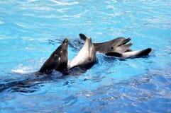 Tango de los delfínes Fotos de archivo