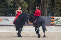 Tango på Friesianhästen Royaltyfri Bild