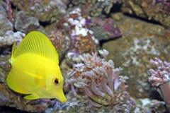tangyellow för 5 fisk Arkivfoto
