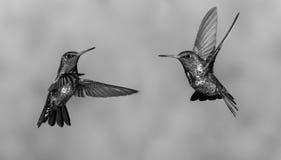 Taniec Hummingbirds fotografia stock