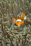 taniec klauna ryb Zdjęcie Royalty Free