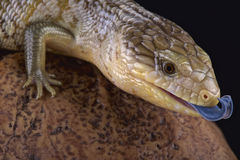 Tanimbar blue tongue skink (Tiliqua scincoides chimaerea) Royalty Free Stock Photo