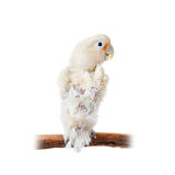 Tanimbar corella or Goffin's cockatoo on white Stock Photos