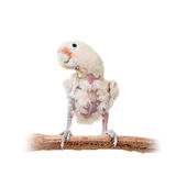 Tanimbar corella or Goffin's cockatoo on white Royalty Free Stock Photo