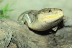 Tanimbar island blue tongue skink. On the wood royalty free stock photography