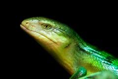 Tanimbar skink, green lizard standing on a piece of wood. Stock Photos