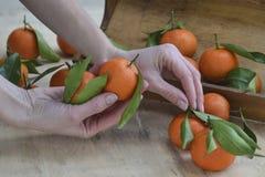 Tanjerinas frescas fruto ou tangerinas com as folhas no fundo de madeira Mãos fêmeas que mantêm os mandarino maduros, fim foto de stock royalty free