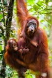 Tanjung de Kalimantan d'orang-outan mettant le parc national Indonésie Images libres de droits