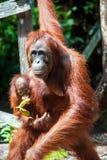 Tanjung de Kalimantan d'orang-outan mettant le parc national Indonésie Image libre de droits