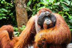 Tanjung di kalimantan dell'orangutan che mette parco nazionale Indonesia Fotografia Stock Libera da Diritti