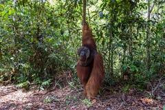 Tanjung mettant le parc national, Bornéo, Indonésie : Alpha Male Orangutan pendant l'alimentation images stock