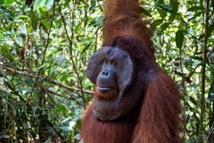 Tanjung mettant le parc national, Bornéo, Indonésie : une fin d'Alpha Male Orangutan photo stock