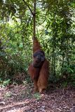 Tanjung mettant le parc national, Born?o, Indon?sie : Alpha Male Orangutan pendant l'alimentation photos stock