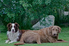 Tank and Charlie. Two dogs take a rest after playing hard Royalty Free Stock Photo