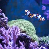 Reef tank, marine aquarium. Blue aquarium full of plants. Stock Image