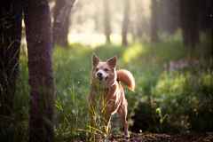 Tank Large Dog Standing Near Gray Tree Near Grass Field Under Trees Stock Image