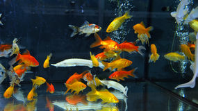 Tank with orange and yellow goldfishes Stock Image
