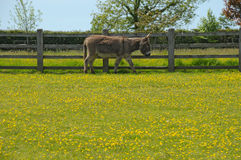 Donkey in a lush summer field Royalty Free Stock Photography