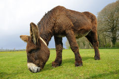 Donkey Grazing in a field Royalty Free Stock Photography