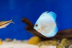 Tankvissen in aquarium royalty-vrije stock afbeelding