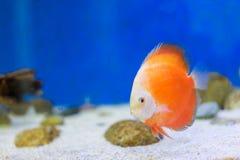 Tankvissen in aquarium stock afbeeldingen