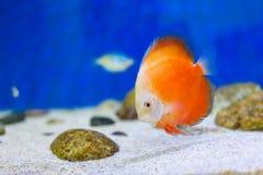Tankvissen in aquarium royalty-vrije stock fotografie