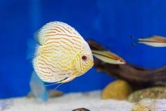 Tankvissen in aquarium royalty-vrije stock foto's
