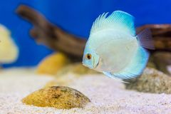 Tankvissen in aquarium royalty-vrije stock foto