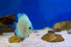Tankvissen in aquarium stock fotografie