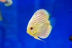 Tankvissen in aquarium stock foto