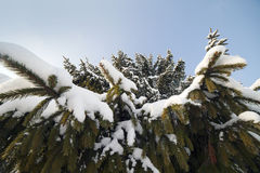 Tanne im Winter. Stockfotografie