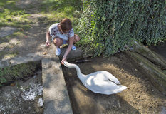 Tanned caucasian woman feed wild white swan in Bled, Slovenia Stock Photo