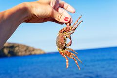 Tanned woman and holding a crab on blue ocean background. Tanned woman hand holding a crab on a blue atlantic ocean background. Tenerife, Canary islands, Spain Royalty Free Stock Photo