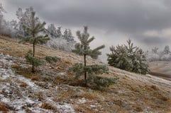 Tannen nach dem Schnee Stockfotografie