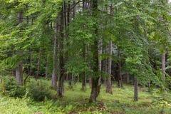 Tannen- und Buchenbäume im Sommer Lizenzfreie Stockfotos