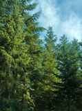 Tannenbäume Stockfoto