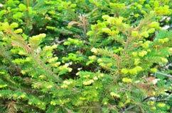 Tannenbäume Stockbilder