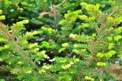 Tannenbäume Lizenzfreies Stockfoto