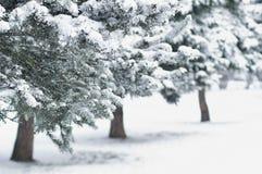 Tannenbäume im Stadt-Park Lizenzfreie Stockfotos