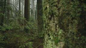 Tannenbäume, pazifischer Nordwestwald stock video footage