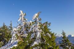 Tannenbäume voll vom Schnee mit dem Mond im Hintergrund stockfoto
