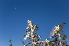 Tannenbäume voll vom Schnee mit dem Mond im Hintergrund stockbilder