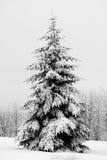 Tannenbaum abgedeckt mit Schnee Lizenzfreie Stockfotos