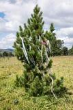 Tannenbaum auf dem altai, Baummedizinmann Stockfoto