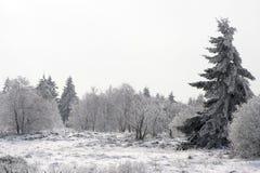 Tannenbaum auf einer schneebedeckten Waldlichtung Stockfotos