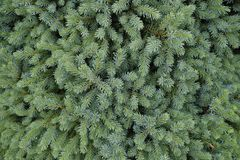 Tannenbaum-Brunchabschluß oben Flacher Fokus stockbild