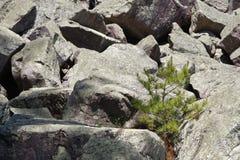 Tannenbaum, der im Spalt von Felsen wächst stockfotografie