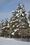 Tannenbaum mit einer Schneekappe im Winter Lizenzfreies Stockfoto